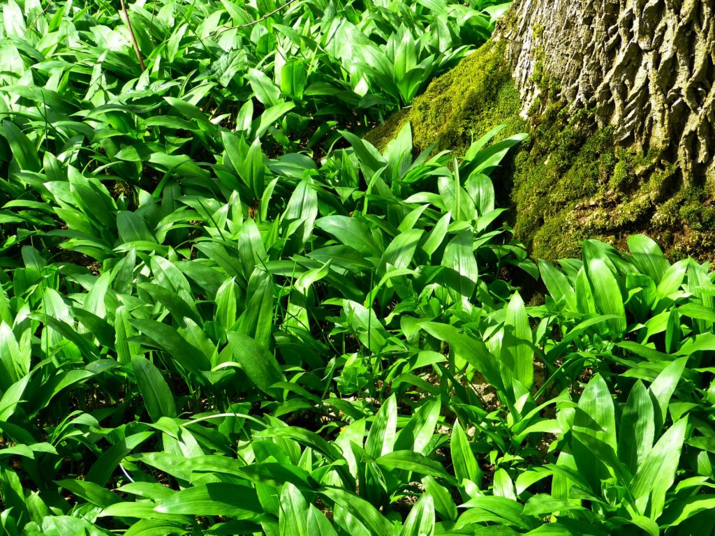 Bärlauch wächst am Waldrand oder in feuchten Orten