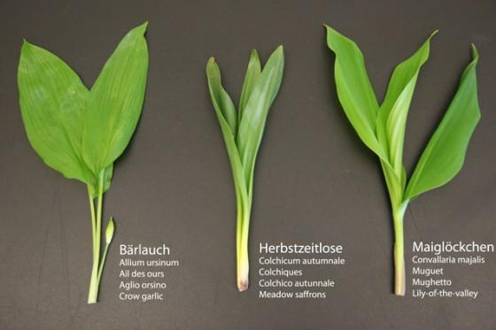 Genaues Unterscheiden zwischen Bärlauch, Herbstzeitlose und Maiglöckchen ist wichtig.
