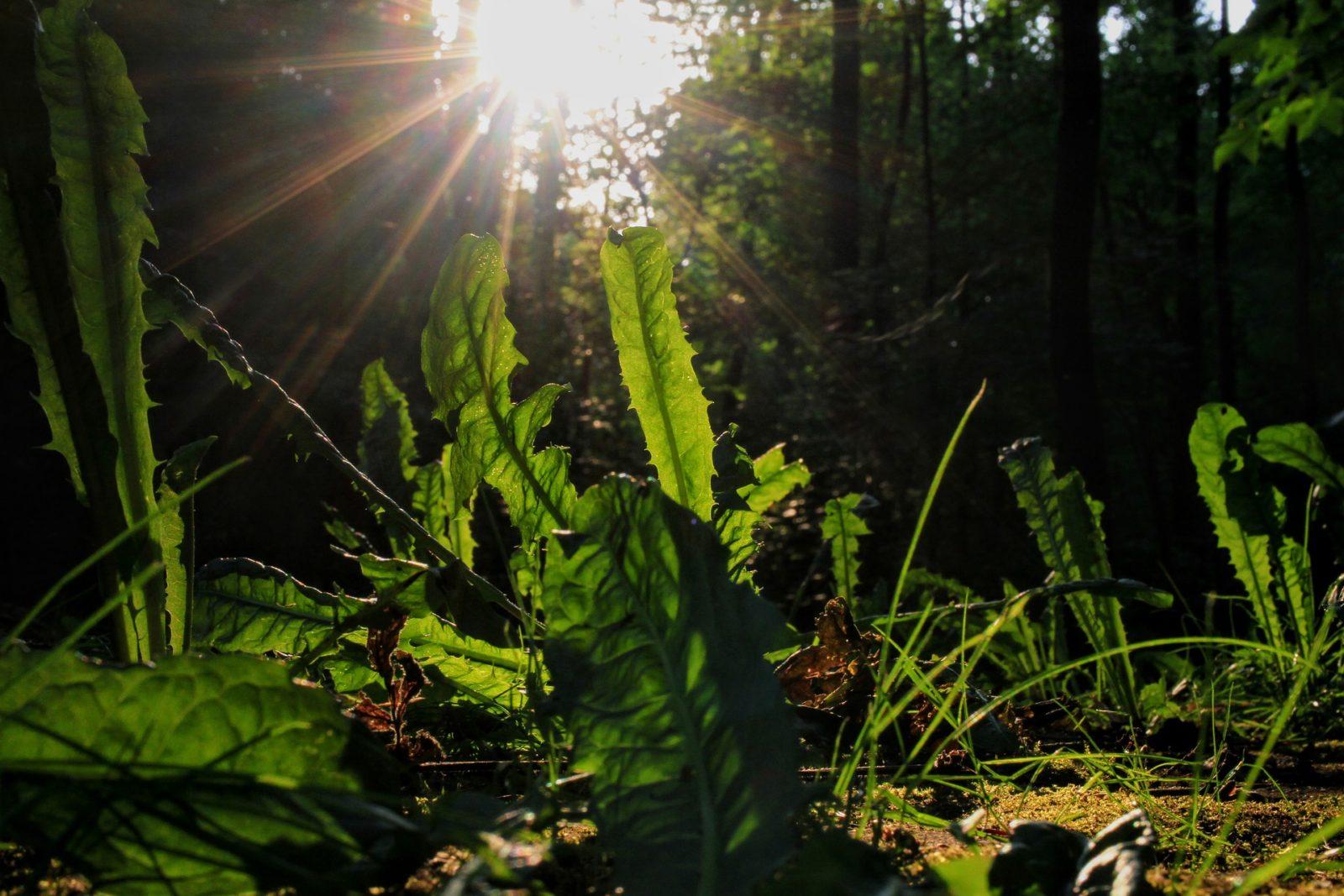 Löwenzahn - wohl eine der bekanntesten Pflanzen ist vielseitig nutzbar in der Wildpflanzenküche